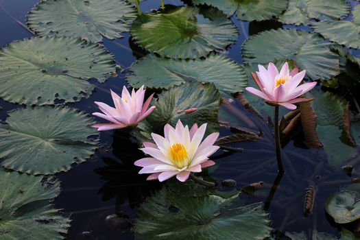 Picture about water lilies, water lily