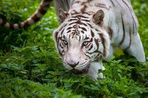 Фото бесплатно белый тигр, величественный, растения