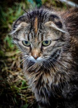Lop-eared cat, cat`s eye, cat Aliska.