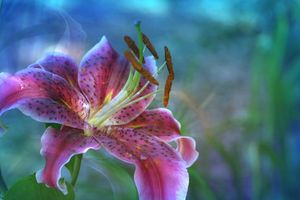 Photo free lily, color, flower composition