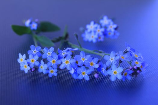 Photo free Forget-me-not, flower, flora