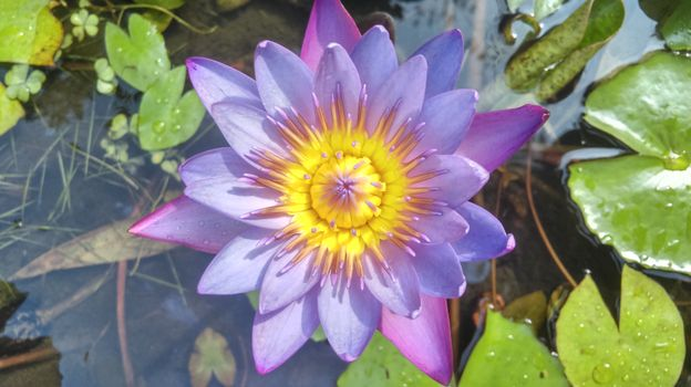 Photo free flora, water lily, beautiful flower