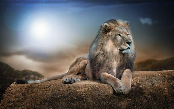 Фото бесплатно царь зверей, гордый лев, хищник