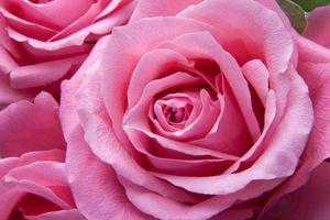 Фото бесплатно лепесток, цветы, розовый