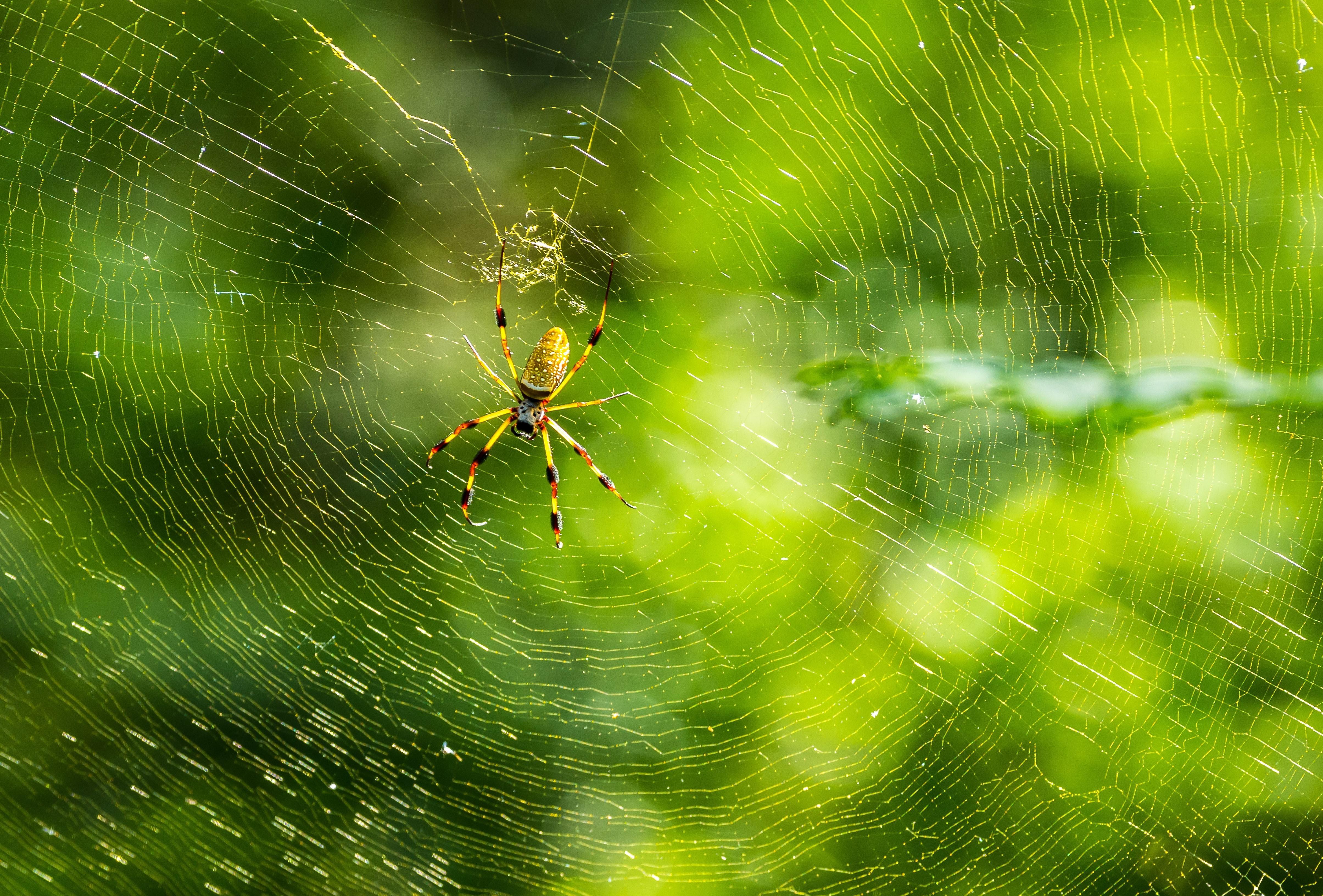 Обои паутина, паук, насекомое, макро
