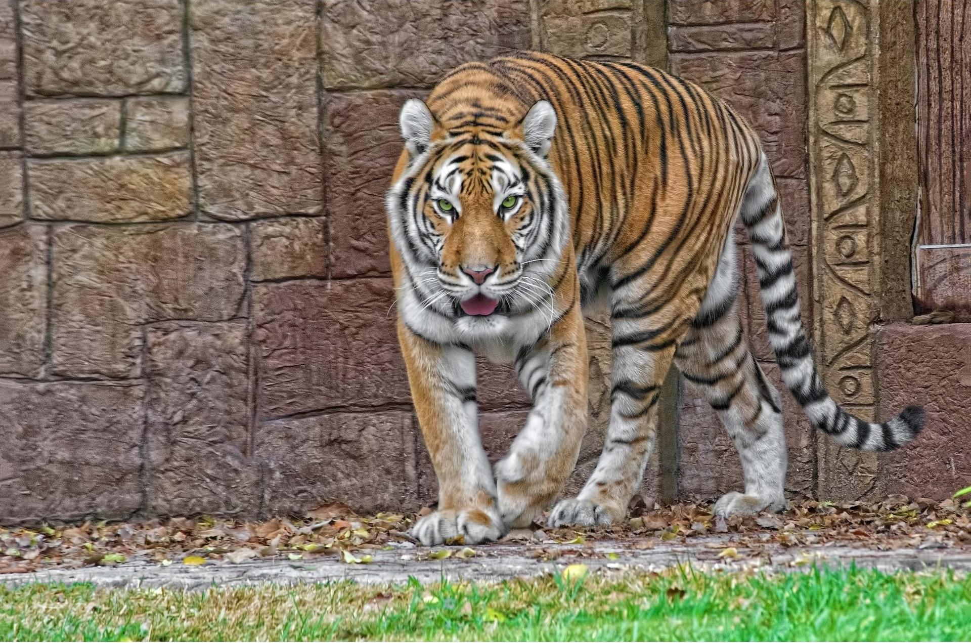 Обои тигр, хищник, взгляд, животное