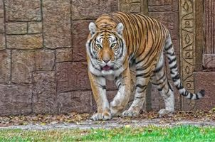 Photo free view, animal, tiger