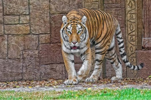 тигр,хищник,взгляд,животное
