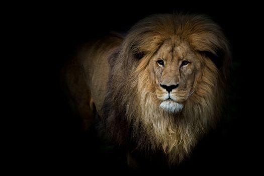 Фото бесплатно большая кошка, грива, лев
