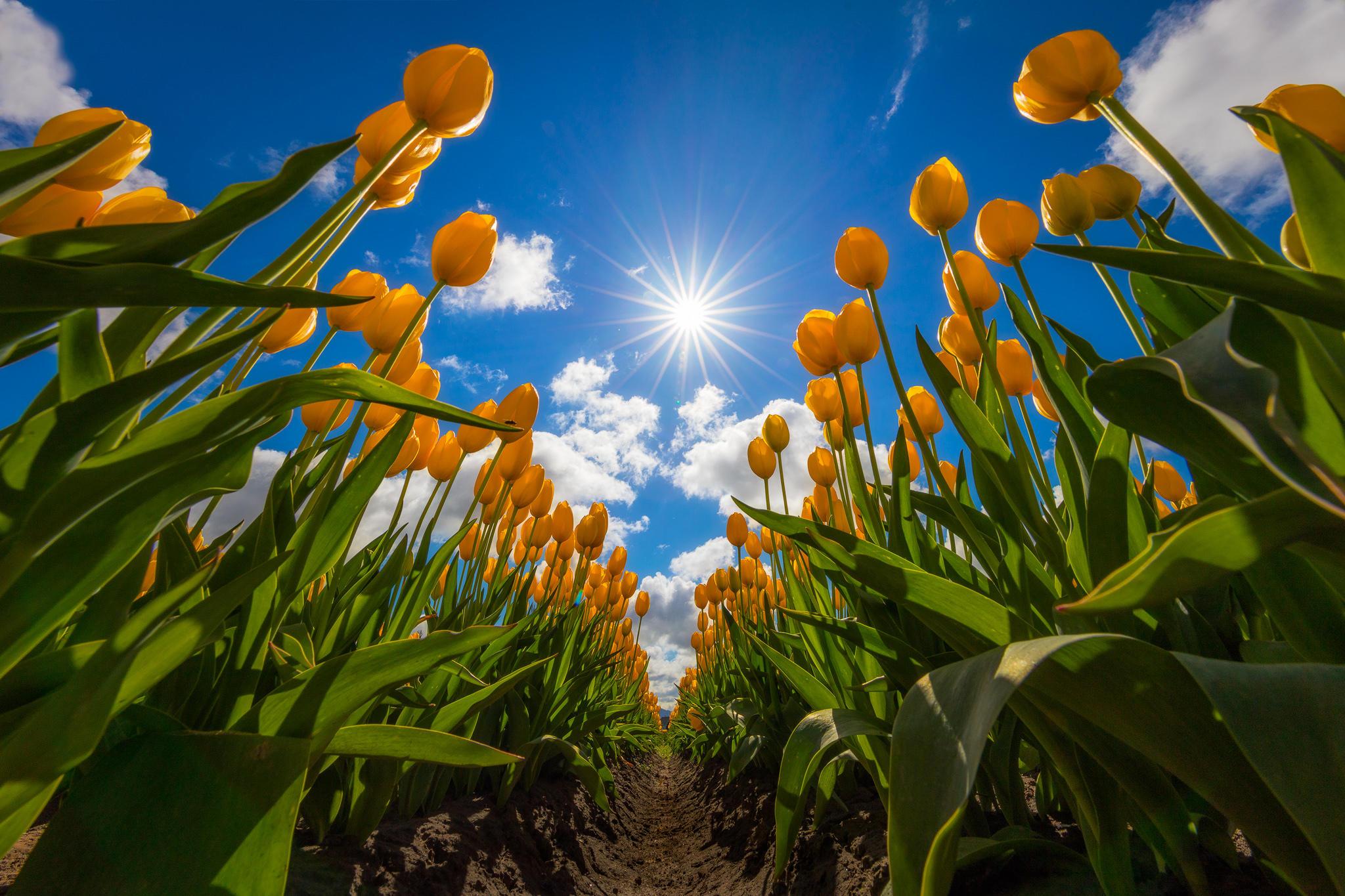 Обои поле, цветы, тюльпаны
