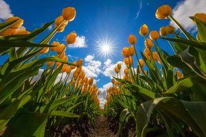 Фото бесплатно поле, цветы, тюльпаны