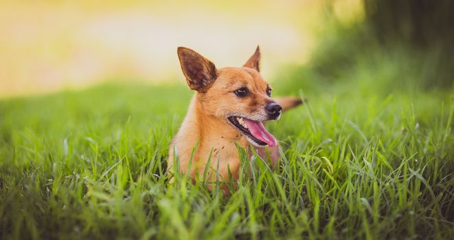 Фото бесплатно торчащий язык, трава, глядит в сторону