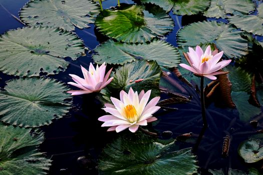Wallpaper on the table, water lilies, water lily