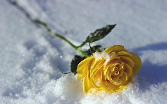 Фото бесплатно жёлтая роза, снег, зима