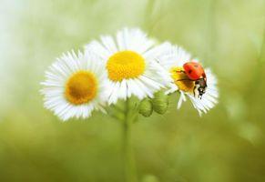 Фото бесплатно божья коровка, цветок, насекомое