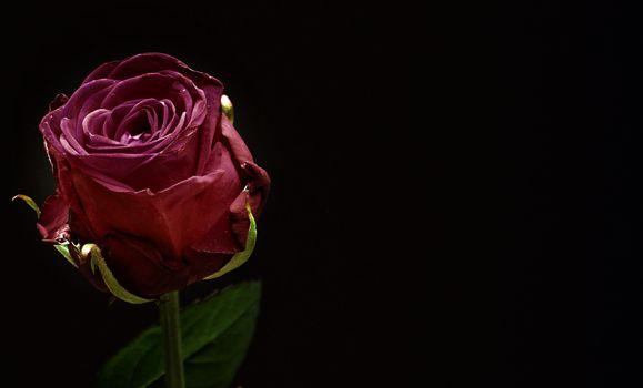 Photo free wellness, pink, rose bloom