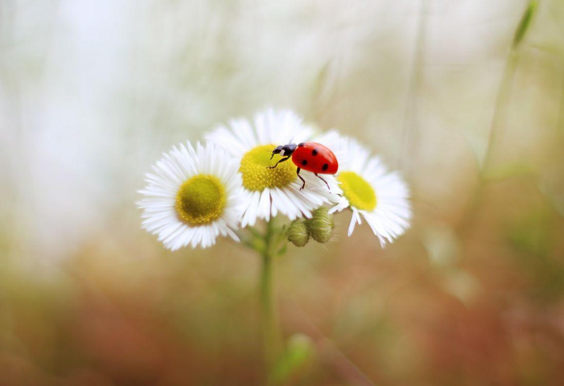 Free photo ladybug, flower, insect - to desktop