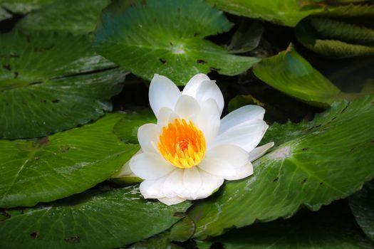 Photo free Water Lilies, water beauty, water lilies