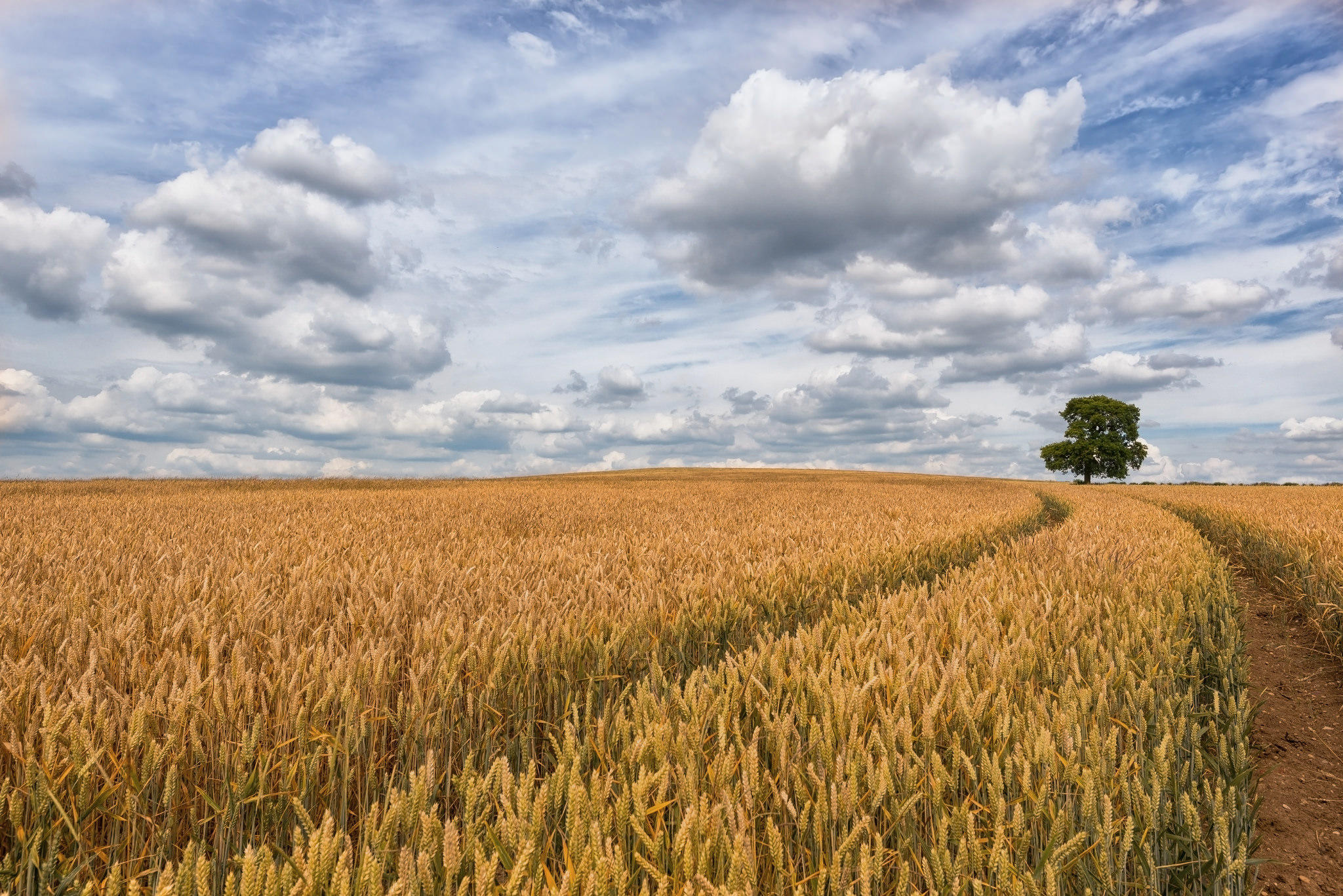 Обои поле, колосья, дерево, облака