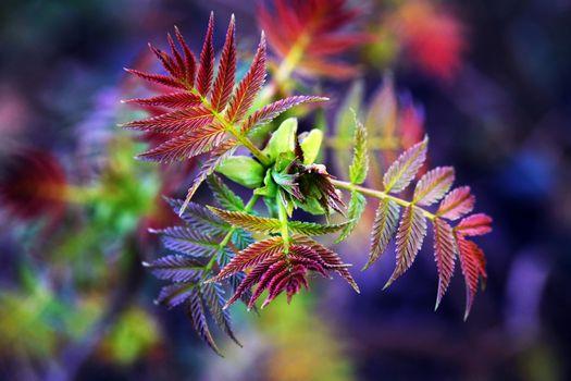 Фото бесплатно рябина, листья рябины, ветка