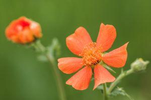 Заставки цветок, красный, макросъемка