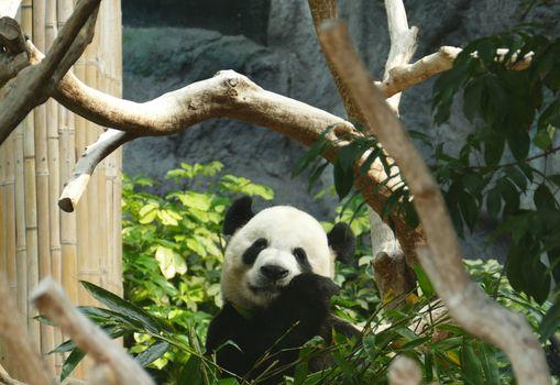 Photo free panda, tree, charming