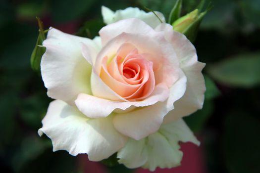 Фото бесплатно лепестки, близко, белая роза