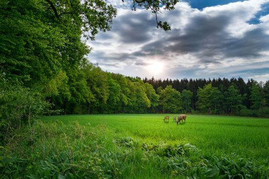 Фото бесплатно поле, олени, трава