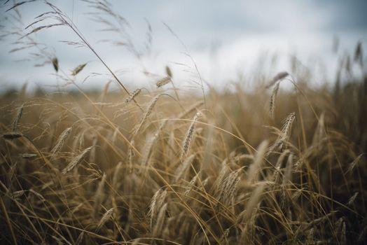 Фото бесплатно цветущее растение, степь, пшеница