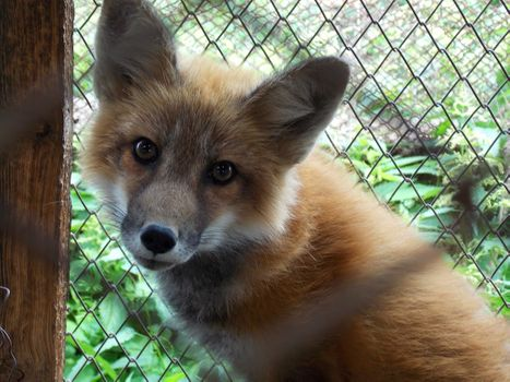 A pining fox in a cage - free photo