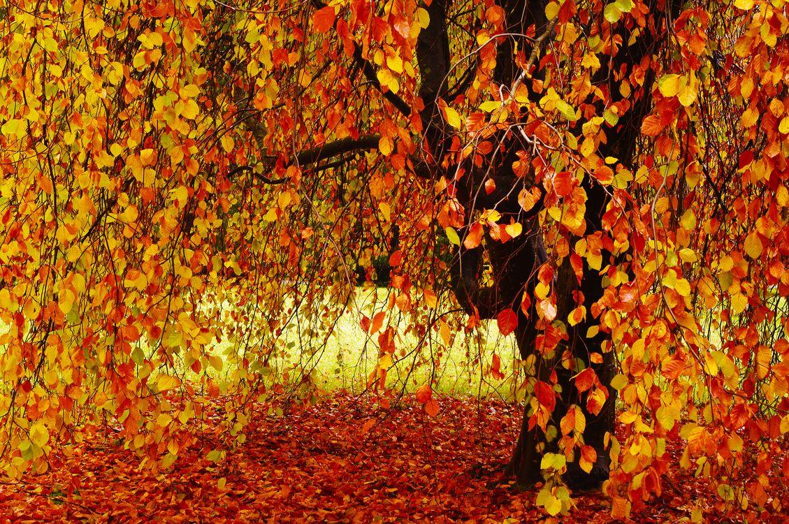 Photo autumn autumn tree autumn leaves - free pictures on Fonwall