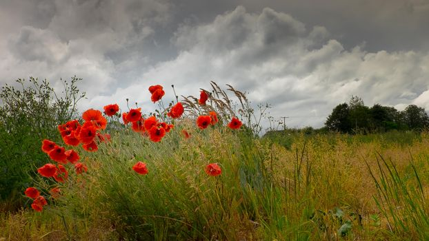 Фото бесплатно поле, маки, цветы