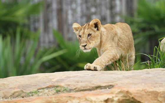 Заставки лев, хищник, милый