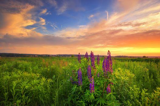 Фото бесплатно люпин, цветы, небо