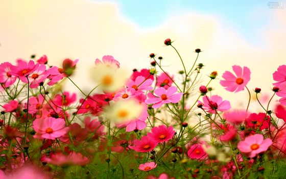 Photo free cosmos, pink, buds