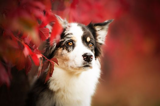 Photo free border collie, looking away, dogs