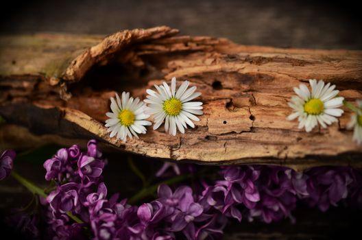 Фото бесплатно сирень, флора, макросъёмка