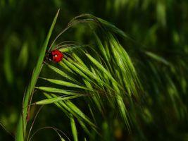 Бесплатные фото трава,растение овёс,божья коровка,макрос,макро,зелёный