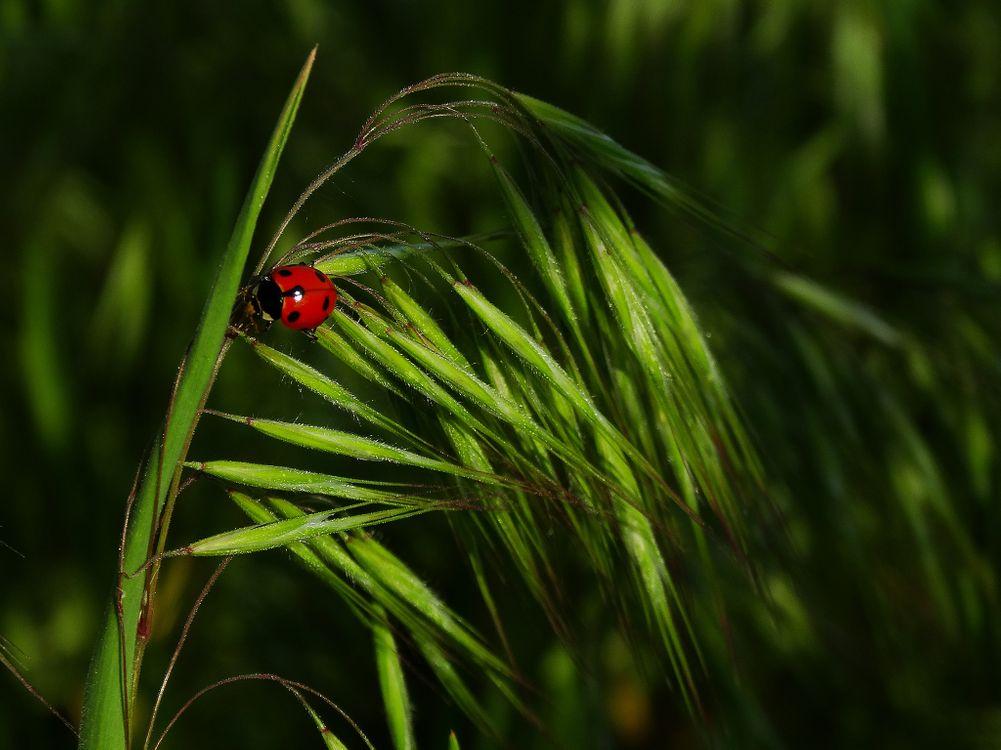 Фото бесплатно трава, растение овёс, божья коровка, макрос, макро, зелёный, насекомые - скачать на рабочий стол