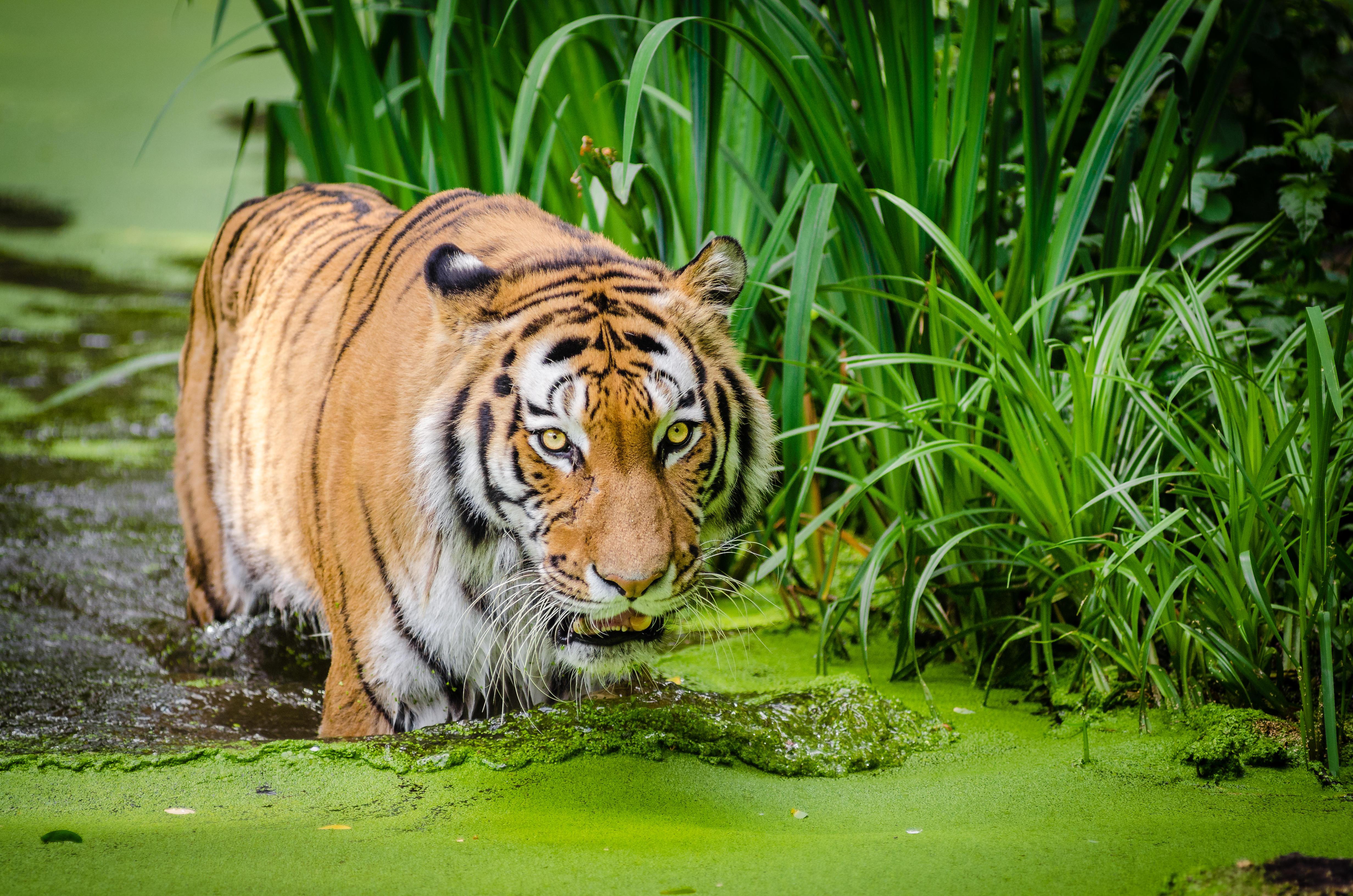 Обои тигр, хищник, взгляд