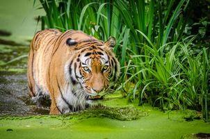 Бесплатные фото тигр,хищник,взгляд