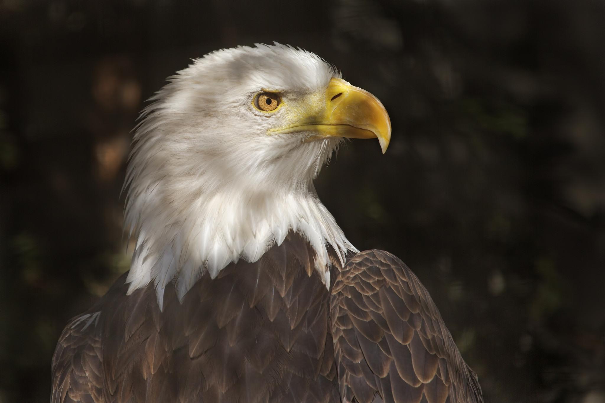 белый орел фото животные кабинке