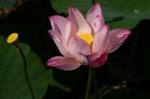 Лотос речной цветок