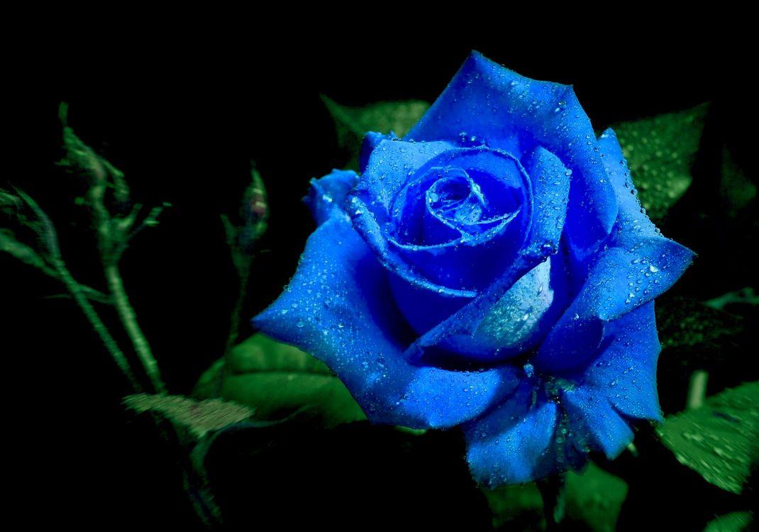 Фото бесплатно розы, цветок, роза, цветы, цветочный, цветочная композиция, флора, красивые, красивый, цвет, оригинальный, цветы