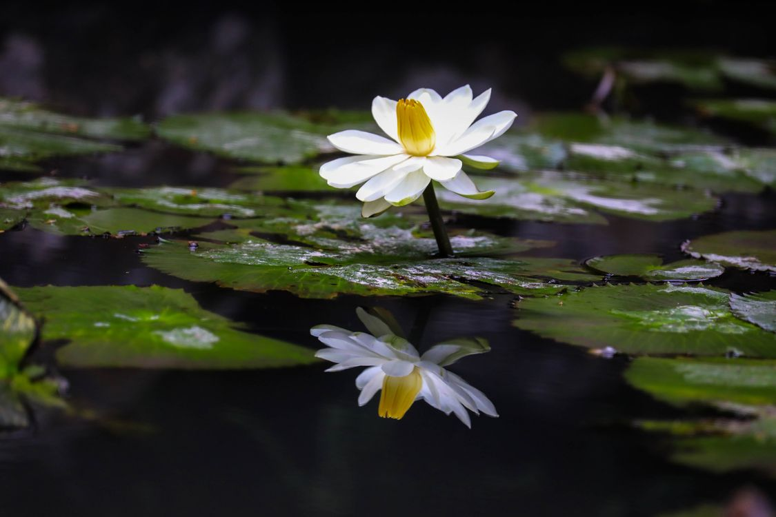 Photos online free water lilies, water lily