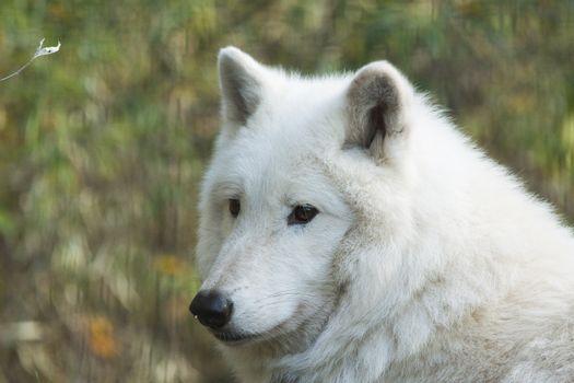 Заставки белый волк, величественная, близко