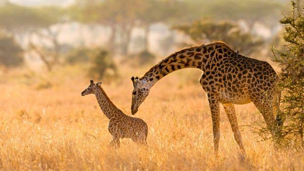 Photo free giraffe, field, dust