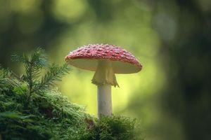 Бесплатные фото гриб,мох,мухомор,природа