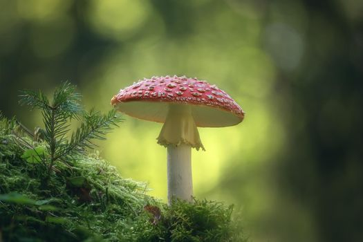 Фото бесплатно гриб, мох, мухомор