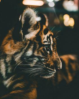 Обои тигренок,куб,морда,профиль,tiger cub,cub,muzzle,profile